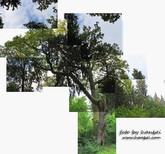 Stary Dąb - tree trail I