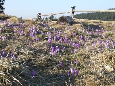 www.góry.oc nr 11 - Krokusowy Turbacz