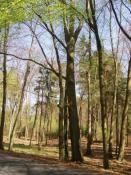 Trzy buki - pomnik przyrody